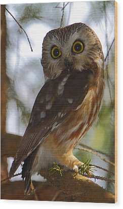 Northern Saw-whet Owl II Wood Print