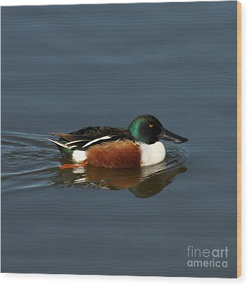 Wood Print featuring the photograph Northern Shoveler by Bob and Jan Shriner