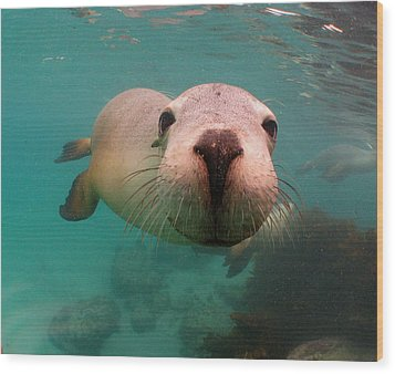 Nosey Sea Lion Wood Print by Crystal Beckmann