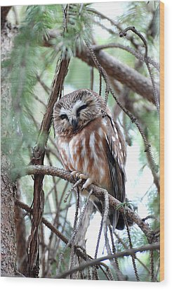Northern Saw-whet Owl 2 Wood Print