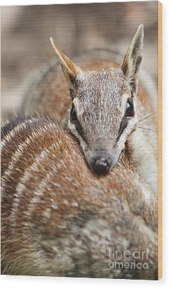 Numbats Wood Print by Craig Dingle