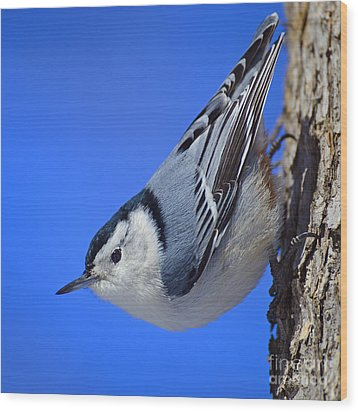 Nuthatch Wood Print
