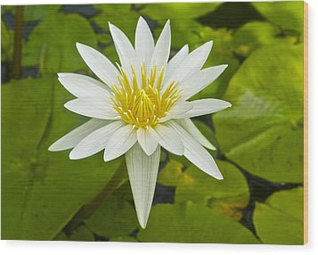 Nymphaea Water Lily Wood Print by Venetia Featherstone-Witty