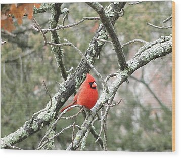 Observing Cardinal Wood Print by Cindy Croal