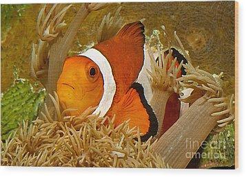 Ocellaris Clown Fish No 1 Wood Print by Jerry Fornarotto