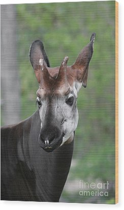Wood Print featuring the photograph Okapi #2 by Judy Whitton