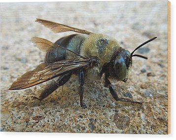Old Carpenter Bee Wood Print by Pete Trenholm