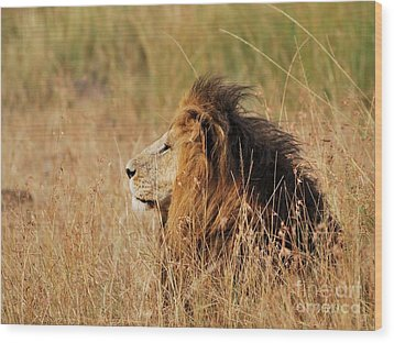Old Lion With A Black Mane Wood Print by Alan Clifford
