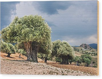 Olive Grove Wood Print by Mike Santis