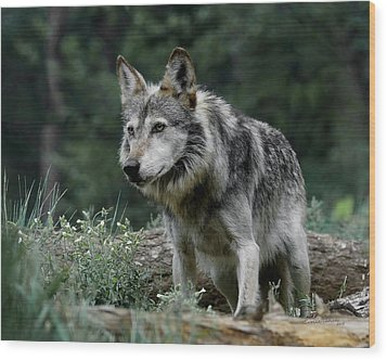 On Alert Wood Print by Ernie Echols