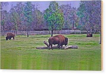 One Bison Family Wood Print