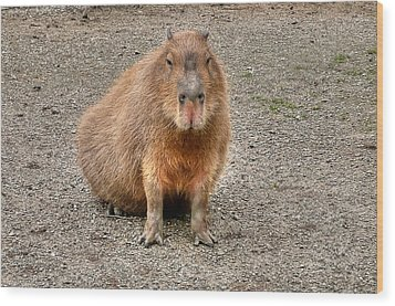 One Very Big Indifferent Rodent-the Capybara Wood Print by Eti Reid