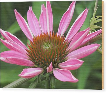 Opening Coneflower Wood Print by Gene Cyr