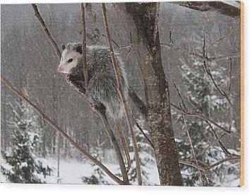 Opossum In A Tree Wood Print