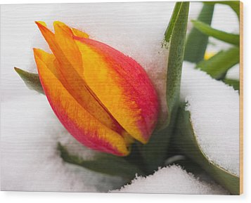 Orange And Red Tulip In The Snow Wood Print by Matthias Hauser