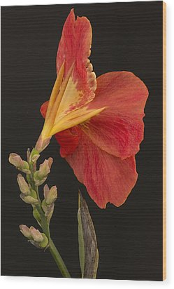 Orange Canna Flower Wood Print by Denis Darbela