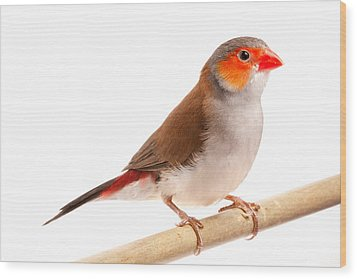 Wood Print featuring the photograph Orange-cheeked Waxbill Estrilda Melpoda by David Kenny