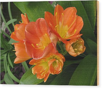 Orange Clivia Wood Print by Alfred Ng