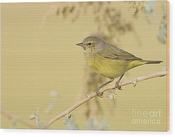 Orange Crowned Warbler Wood Print by Bryan Keil