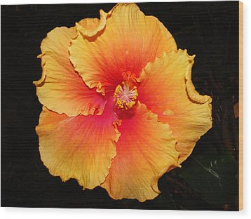 Orange Hibiscus Wood Print by Cindy Croal