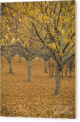 Orange Orchard Wood Print by Tim Hester
