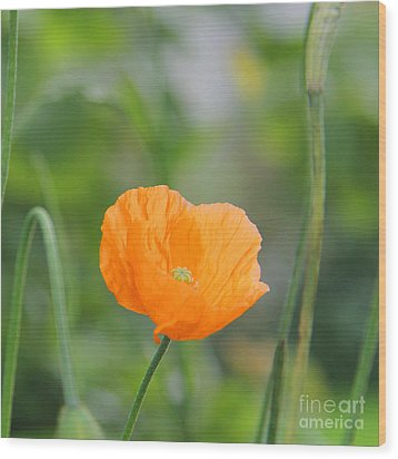 Orange Poppy #2 Wood Print by Karin Ubeleis-Jones