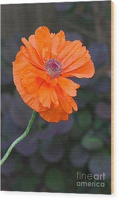 Orange Poppy Wood Print by Steve Augustin