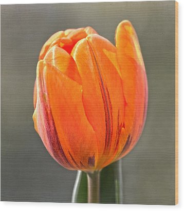 Orange Red Tulip Square Wood Print by Sandi OReilly