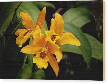 Orange Spotted Lip Cattleya Orchid Wood Print by Rudy Umans
