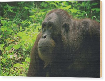 Wood Print featuring the photograph Orangutan by Dennis Baswell