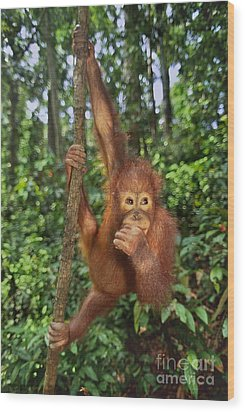 Orangutan  Wood Print by Frans Lanting MINT Images