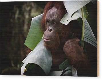 Wood Print featuring the photograph Orangutan by Zoe Ferrie