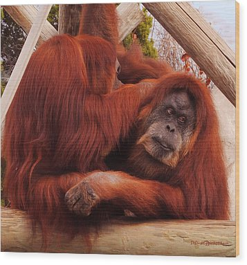 Orangutans Grooming Wood Print by DiDi Higginbotham