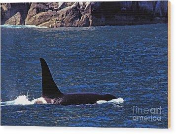 Orca Surfacing Wood Print by Thomas R Fletcher
