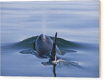 Orca Whale Surfaces In Lynn Canal Wood Print by John Hyde