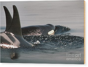 Wood Print featuring the photograph Orcas/killer Whales Off The San Juan Islands 1986 by California Views Mr Pat Hathaway Archives