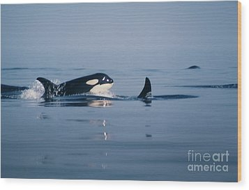 Wood Print featuring the photograph Orcas Off The San Juan Islands Washington  1986 by California Views Mr Pat Hathaway Archives