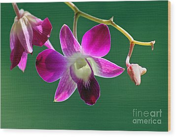 Orchid Flower Wood Print by Karen Adams