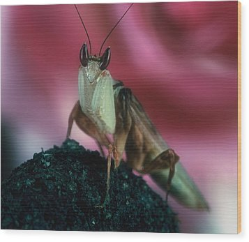 Orchid Male Mantis  Hymenopus Coronatus  Portrait  2 Of 9 Wood Print by Leslie Crotty