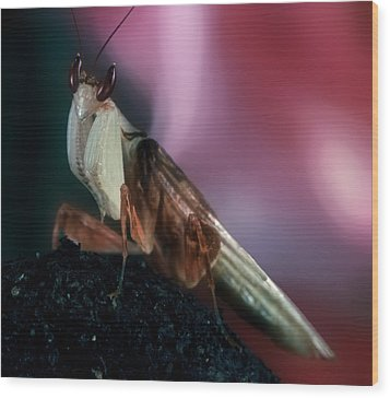 Orchid Male Mantis  Hymenopus Coronatus Portrait  #6 Of 9 Wood Print by Leslie Crotty