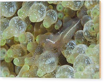 Ornate Anemone Shrimp In Anemone Wood Print by Steve Jones