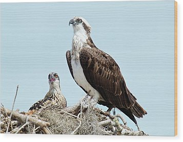 Osprey And Chick Wood Print by Bob Gibbons