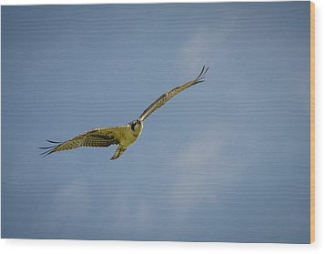 Wood Print featuring the photograph Osprey by Bradley Clay