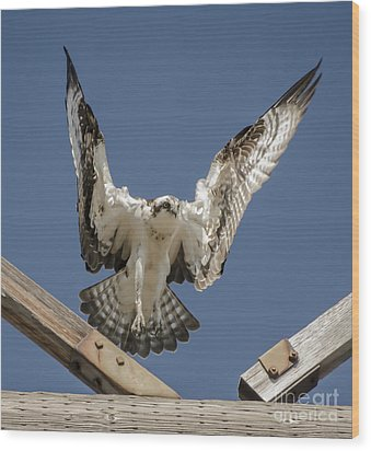 Wood Print featuring the photograph Osprey Landing by Dale Powell