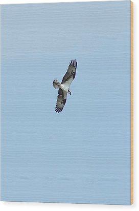 Osprey Overhead Wood Print by Lynda Dawson-Youngclaus