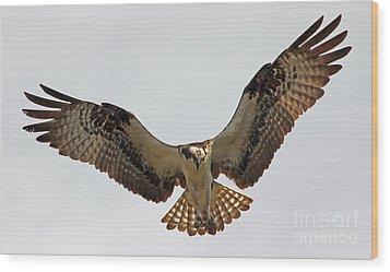 Osprey Spread Wood Print by Larry Nieland