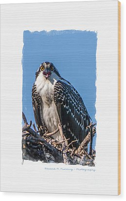 Osprey Surprise Party Card Wood Print by Edward Fielding