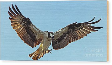 Osprey Talons First Wood Print by Larry Nieland