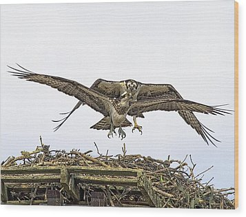 Osprey Wings And Talons Wood Print by Constantine Gregory