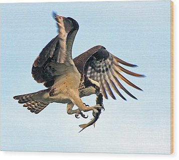 Osprey With Fish 1-6-15 Wood Print by Larry Nieland